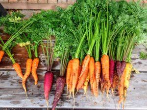 La carotte fait partie de la famille des Apiacées, il en existe une multitude de variétés