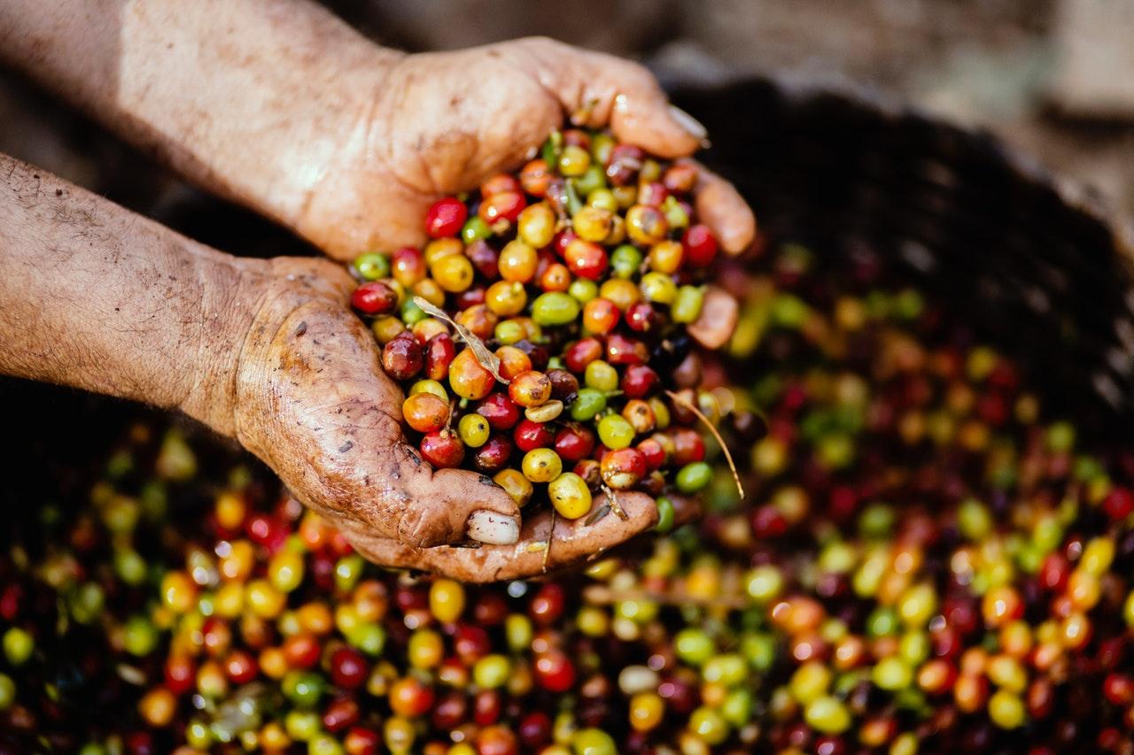 Le fruit du caféier est rouge et renferme cette graine verte qui sera par la suite torréfiée pour devenir noire telle que nous la connaissons