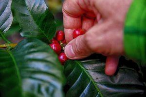 L'huile de café vert est extraite par action mécanique de la graine