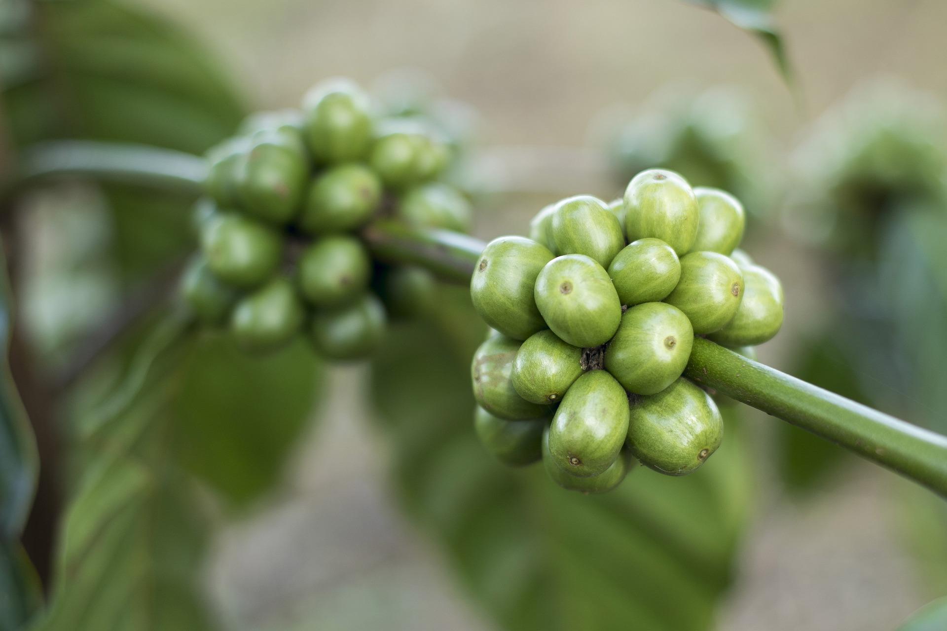 N'ayant pas été torréfié, le café vert conserve toutes ses vertus originelles